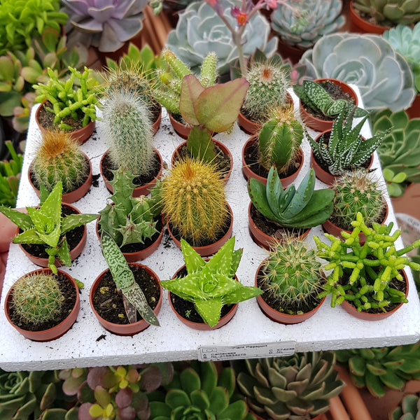 Set of 10 mini cacti