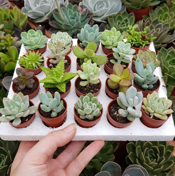 Set of 10 mini succulents