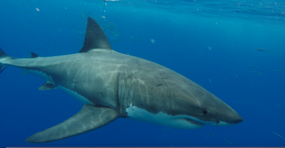 What Is The Secret to The Long Distance Migration of Great White Sharks?