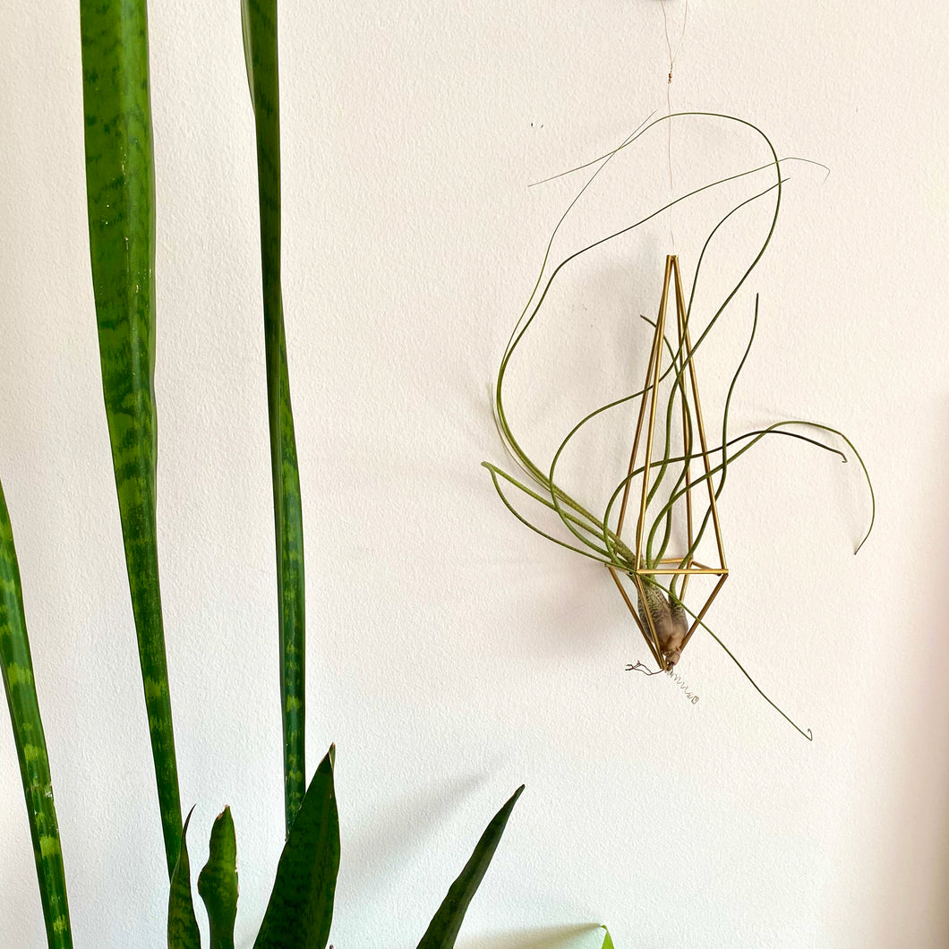Lg brass Himmeli with air plant
