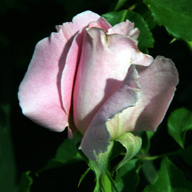 Fragrant Bewitched Hybrid Tea Rose Packaged Dormant Rose