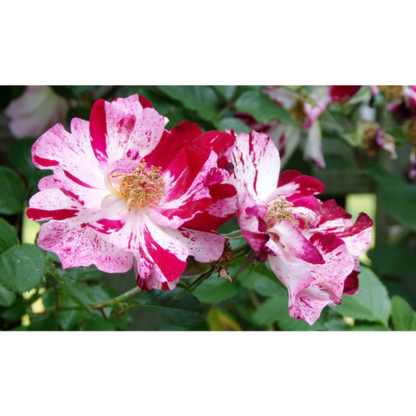 Fragrant Climbing 4th of July Rose Packaged Dormant Rose