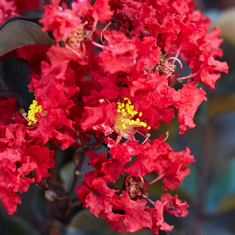 Black Diamond Crape Myrtle Crimson Red Dormant Packaged Tree (2-pack)