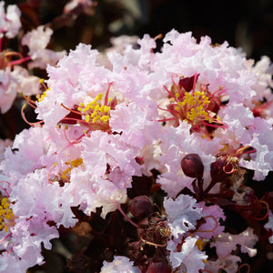 Black Diamond Crape Myrtle Blush Dormant Packaged Tree (2-Pack)