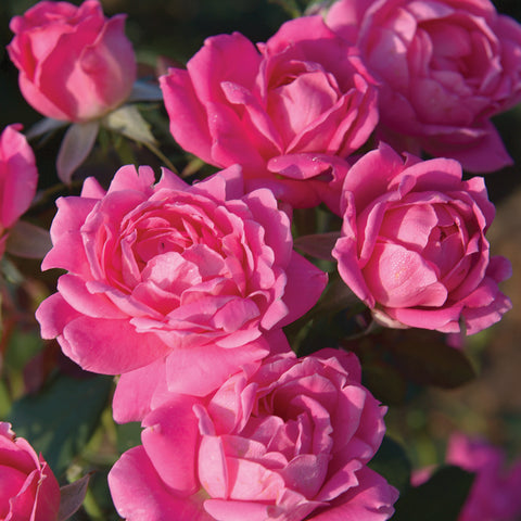 Patented Pink Double Knock Out Rose Packaged Dormant Rose (2-pack)