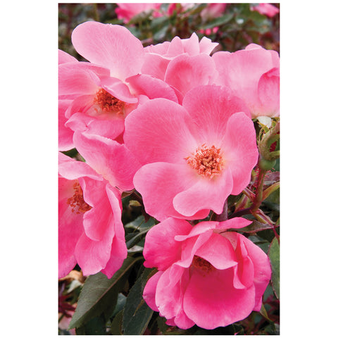 Patented Pink Knock Out Rose Packaged Dormant Rose (2-pack)