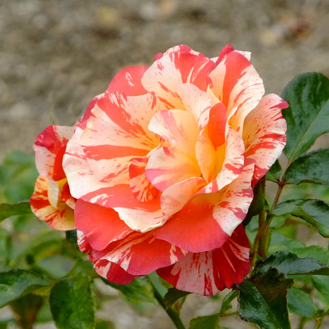 Patented Alfred Sisley Shrub Rose Packaged Dormant Rose