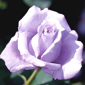 Fragrant Blue Girl Hybrid Tea Rose Packaged Dormant Rose