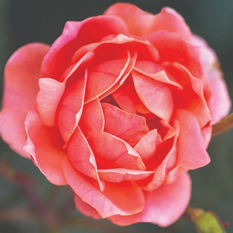 Patented Coral Double Knock Out Rose Packaged Dormant Rose