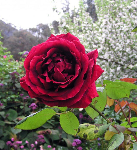 Fragrant Crimson Glory Climbing Rose Packaged Dormant Rose