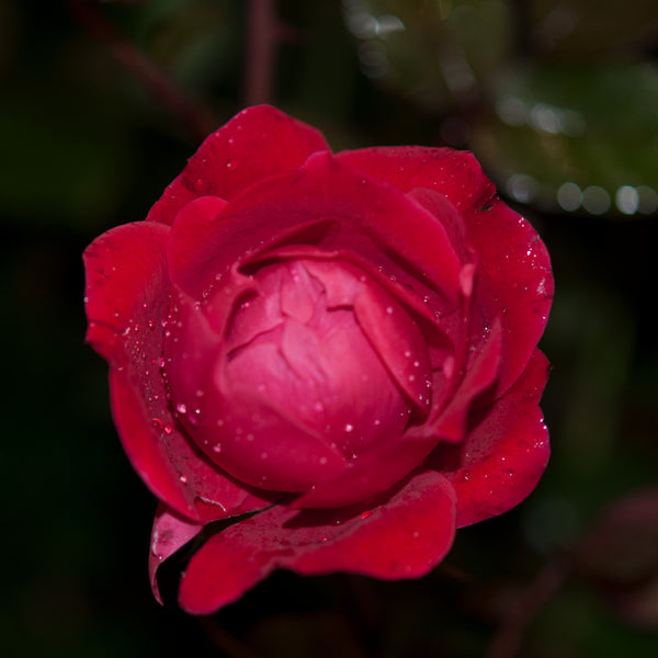 Patented Red Double Knock Out Rose Packaged Dormant Rose