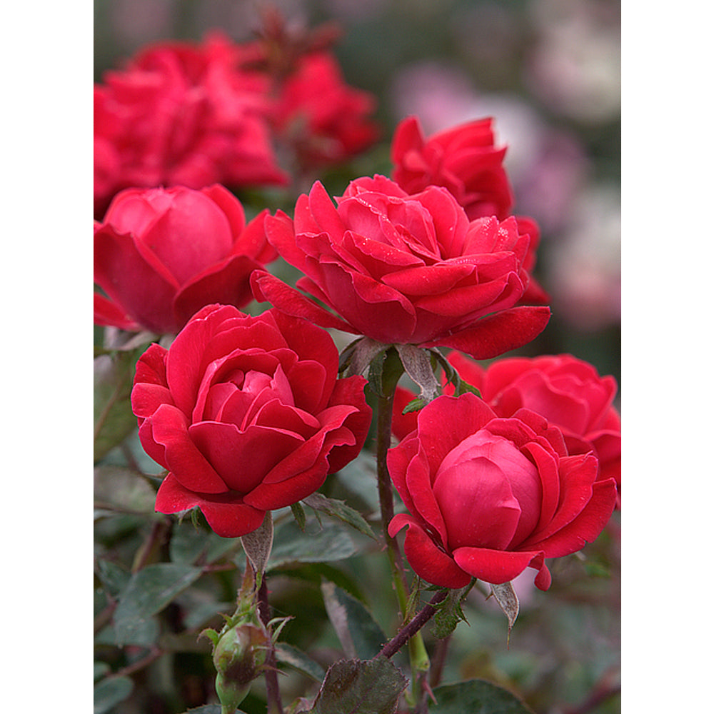 Patented Red Double Knock Out Rose Packaged Dormant Rose (2-pack)