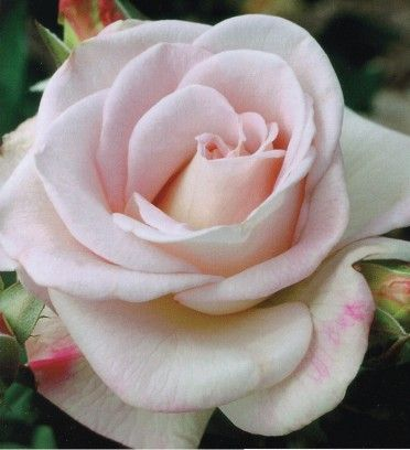 Freedom is not Free World War II Memorial Hybrid Tea Rose Packaged Dormant Rose