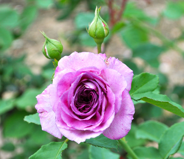 Fragrant Climbing Lavender Crush Rose Packaged Dormant Rose