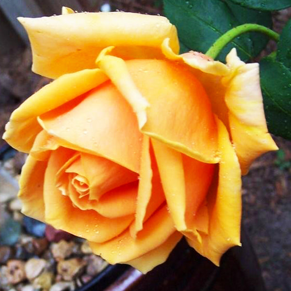 Old Timer Hybrid Tea Rose Packaged Dormant Rose
