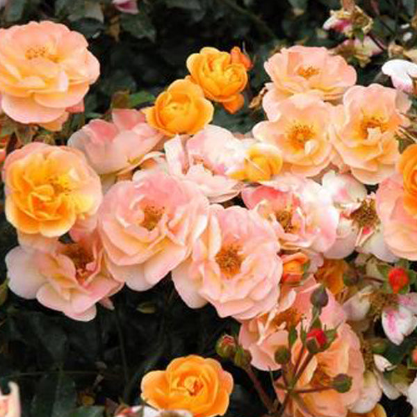 Patented Peachy Double Knock Out Rose Packaged Dormant Rose