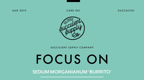 succulent care focus on Sedum Morganianum burrito