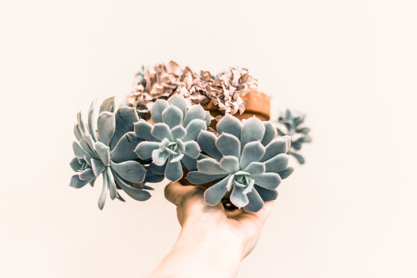 How to water succulents and cacti indoors