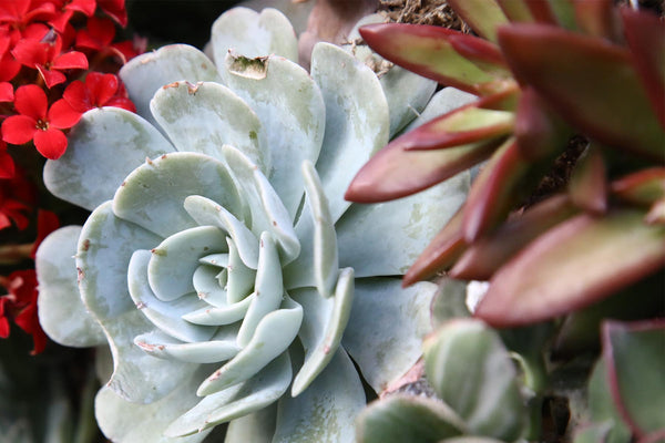 Where to buy succulents - online in the USA