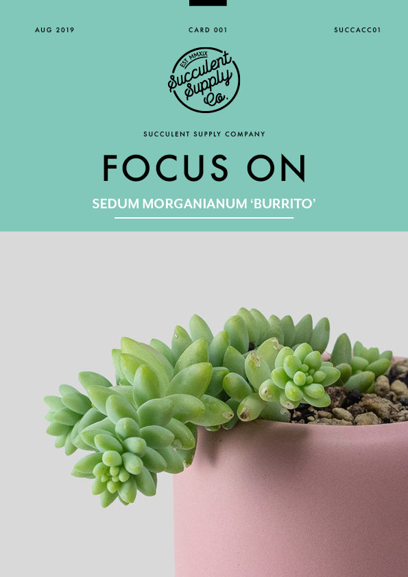 focus on Sedum Morganianum