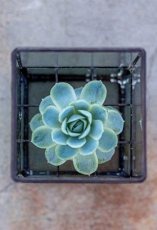 propagation station with echeveria