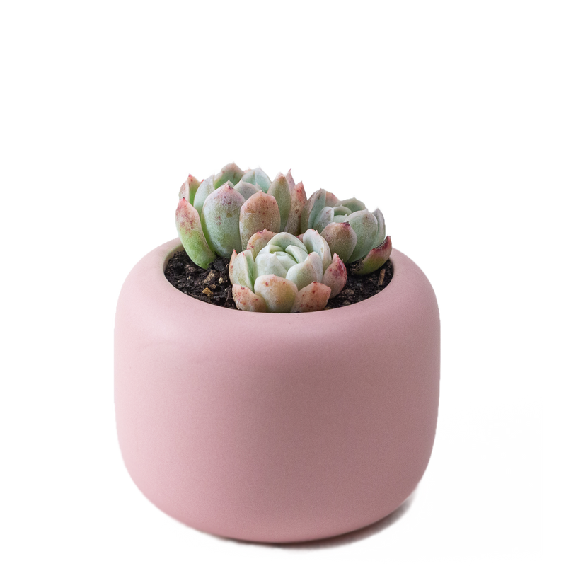 medium ceramic blush pink plant pot with matt finish, perfect for cactus or succulent with drainage hole