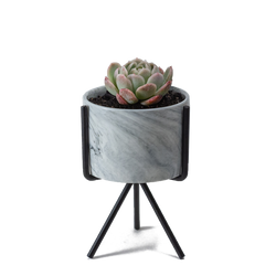 Small marbled pot and stand with echeveria succulent