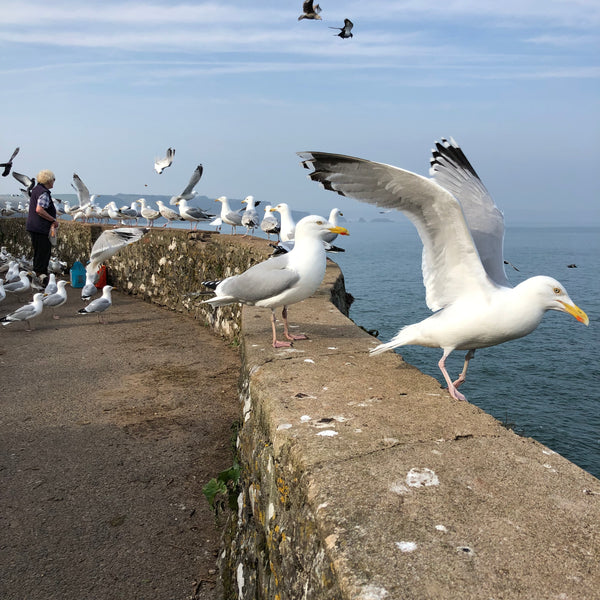 seagulls in tenby wales