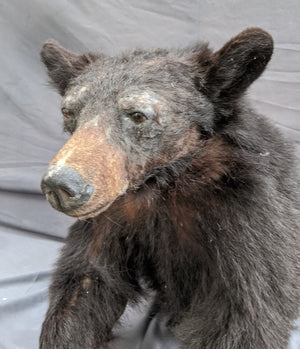BLACK BEAR TORSO TAXIDERMY