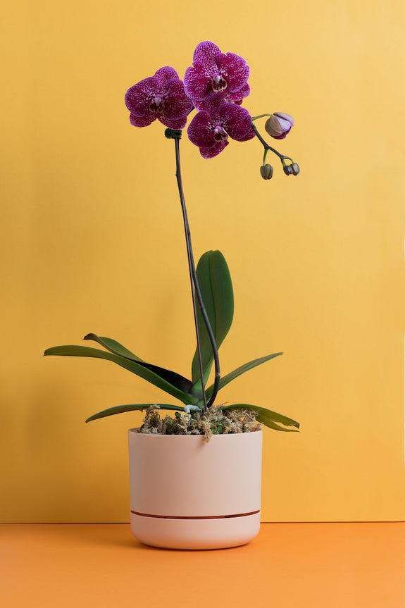 POTTED PHALAENOPSIS 4 / LRG FUSCIA SINGLE STEM