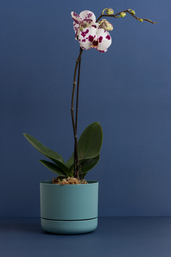 POTTED PHALAENOPSIS 3 / LRG FUSCIA + WHITE SPECKLE SINGLE STEM