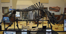 Load image into Gallery viewer, Woolly Rhino skeleton cast replica 2