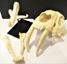Load image into Gallery viewer, Smilodon Stand, Stand for Smilodon skull cast replica