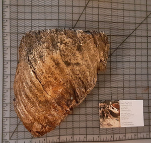 Woolly Mammoth Tooth Cast Replica #1