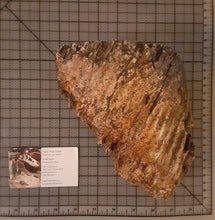Load image into Gallery viewer, Woolly Mammoth Tooth Cast Replica #1
