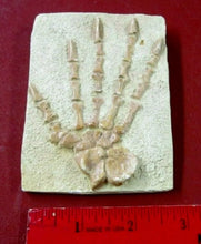 Load image into Gallery viewer, Caseabrioli Fossil Cast foot of Dimetrodon species- Caseabrioli