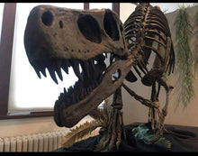 Load image into Gallery viewer, Herrerasaurus skeleton cast replica dinosaur for sale or rent