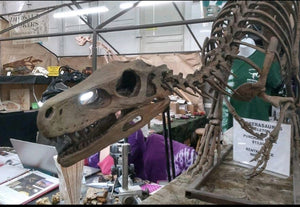 Herrerasaurus skeleton cast replica dinosaur for sale or rent