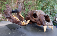 Load image into Gallery viewer, Bear: Short Faced Bear skull fossil cast replica