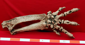 Megalonyx ground sloth arm and hand cast replica