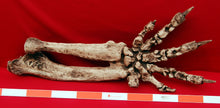 Load image into Gallery viewer, Megalonyx ground sloth arm and hand cast replica