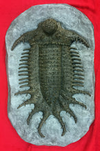 Load image into Gallery viewer, Terataspis grandis (giant trilobite) cast replica