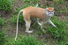 Load image into Gallery viewer, Patas  monkey death cast replica Life cast