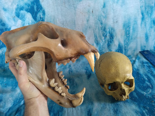 Cave lion skull cast replica 3