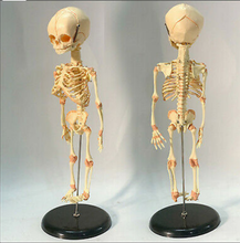 "Load image into Gallery viewer, Newborn skeleton 14.5"" OR 37cm Human New Head Baby Skull Skeleton Anatomical"