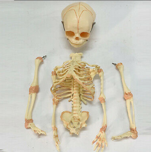 "Newborn skeleton 14.5"" OR 37cm Human New Head Baby Skull Skeleton Anatomical"