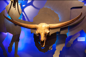 Bison latifrons fossil skull cast replica