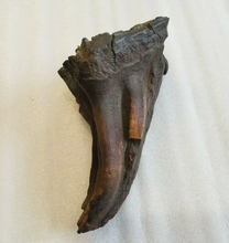Load image into Gallery viewer, Woolly Mammoth Tooth cast replica #7 Extinct Genuine. Pleistocene. Ice Age