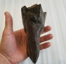 Load image into Gallery viewer, Woolly Mammoth Tooth Fossil. #7 Extinct Genuine. Pleistocene. Ice Age
