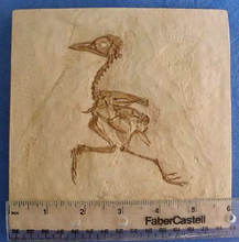 Load image into Gallery viewer, Museum Quality Cast (Replica) of Fossil Bird (Eocene Age) bird cast replica
